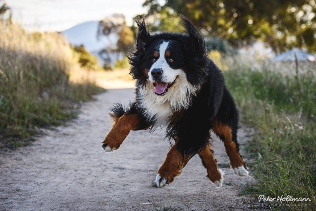 Percy_the_Bearnese_Mountain_Dog-1024x684.jpg